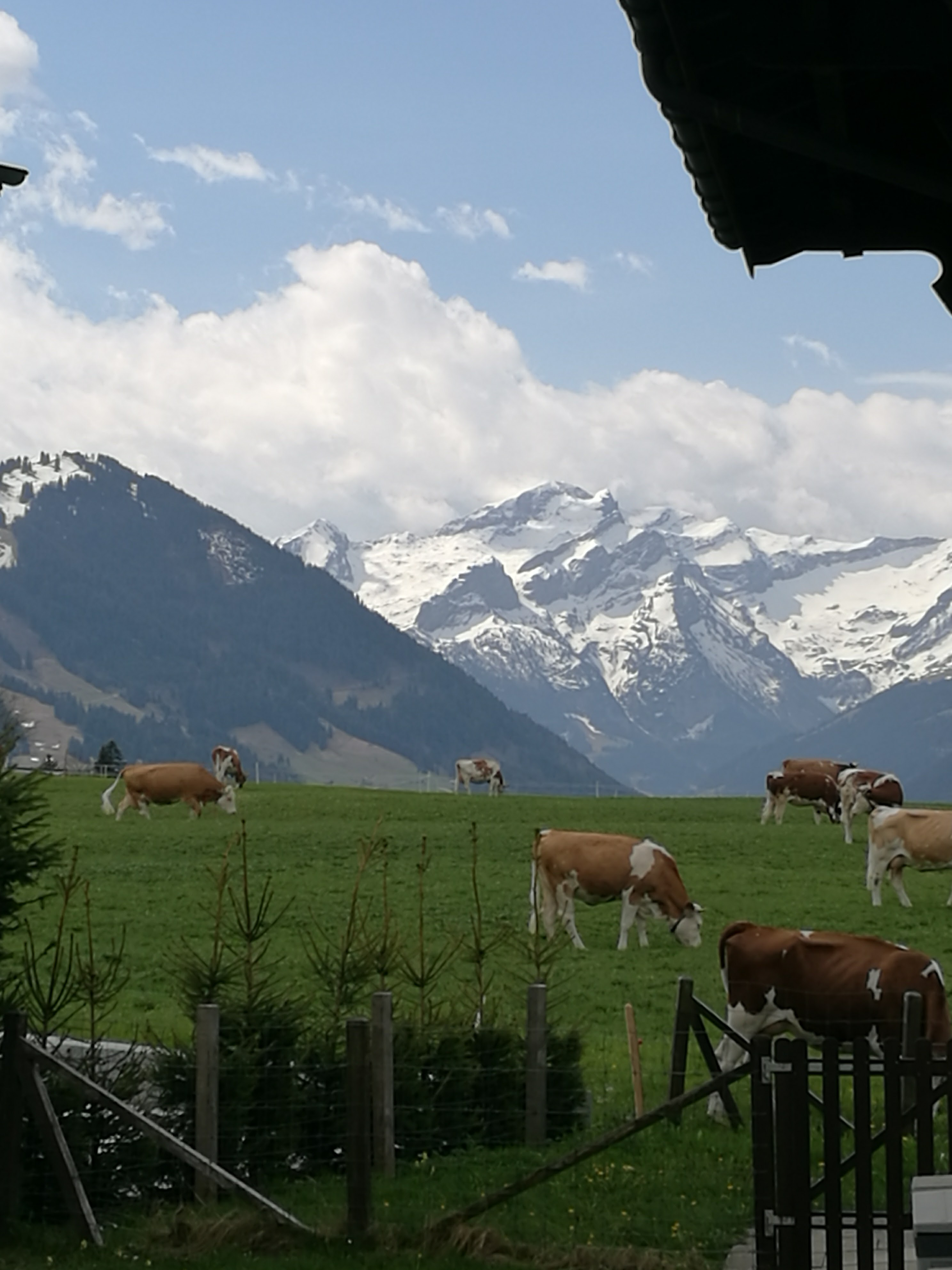 Some cows in a field near Gstaad