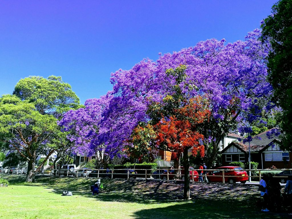 The lovely coloured trees in Sydney